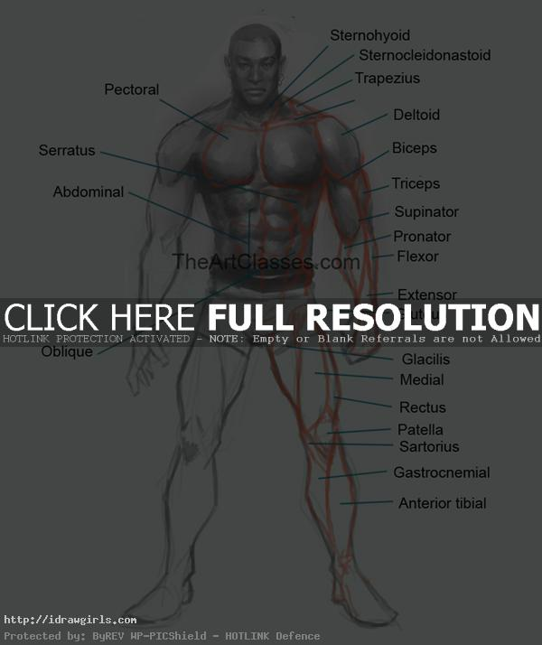 man's muscles anatomy for artist