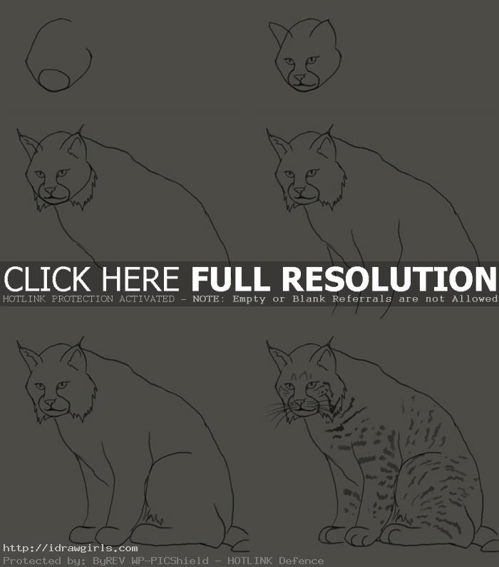 how to draw lynx