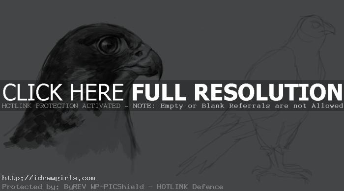 peregrin falcon drawing How to draw falcon