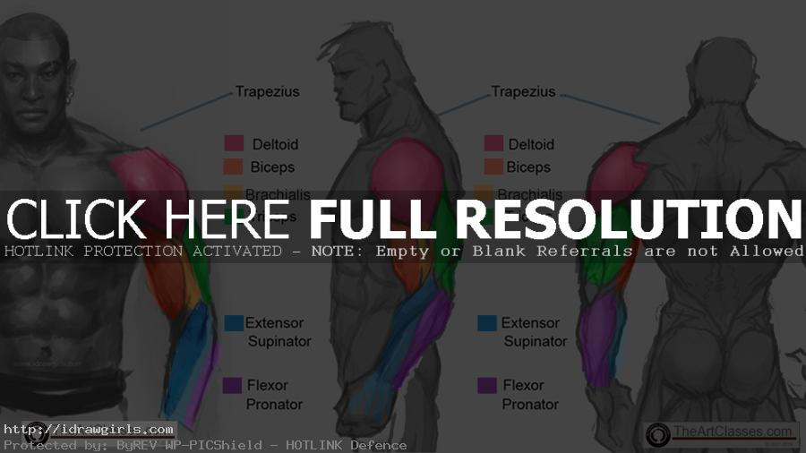 arm muscle anatomy for artists